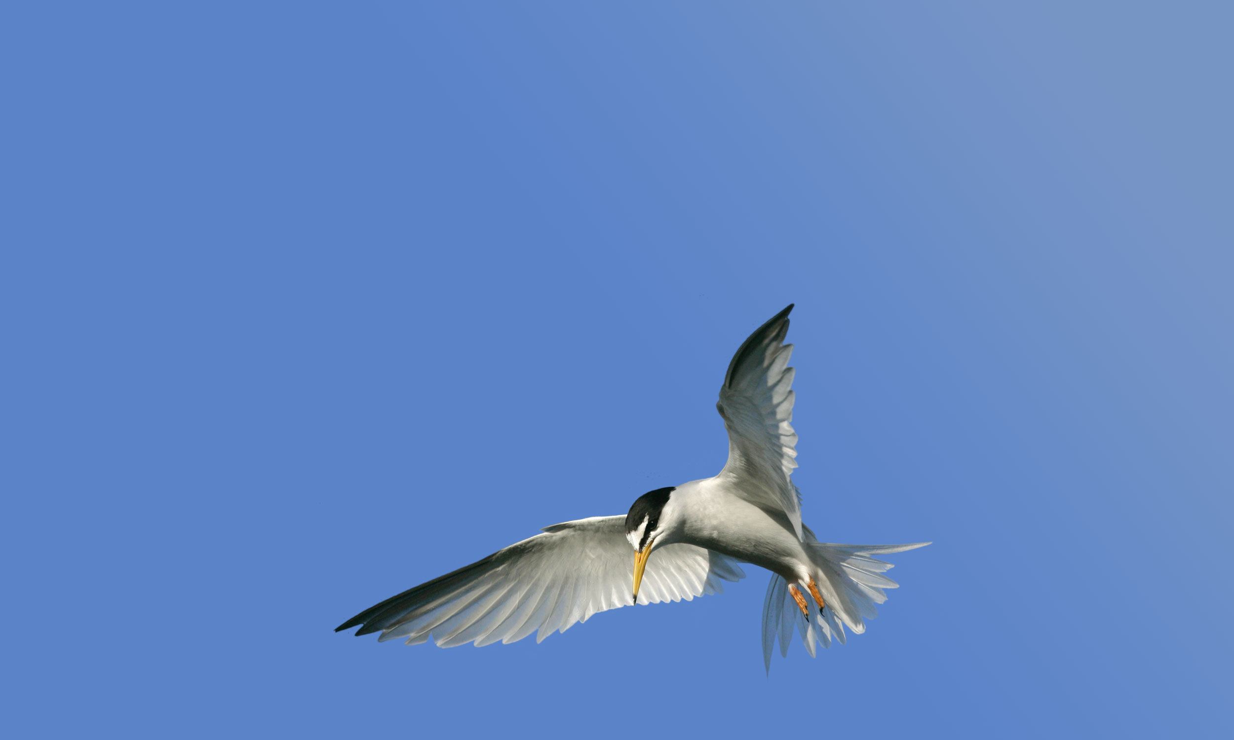 Little Tern Odyssey Challenging Cancer